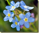 Forgetmenot-Flower